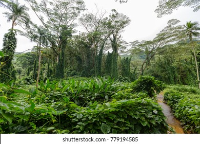 Footpath through lush green tropical vegetation and palm trees with creepers on the Manoa Falls Trail in Oahu, Hawaii, a popular scenic hiking trail through rainforests on a rainy day