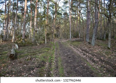 Footpath through a pine tree woodland by springtime