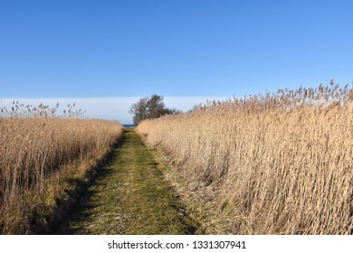 Footpath through the reeds by springtime at the swedish island Oland