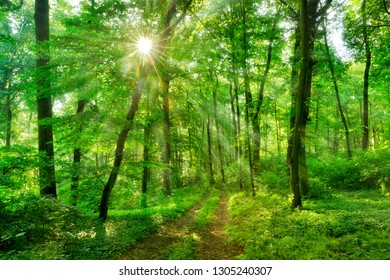 Footpath through Sunny Green Forest with Sunbeams