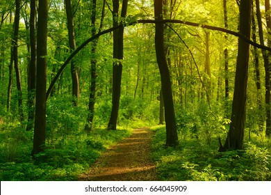 Footpath through Wild Natural Forest in the Beautiful Light of the Morning Sun