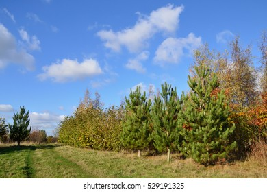 A footpath through a young plantation of coniferous and deciduous trees under a bright blue sky.