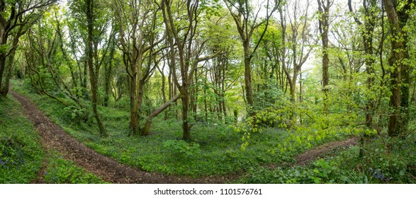 Footpath winding throug deciduous woodland in the spring. In Cornwall UK with flowering bluebells.