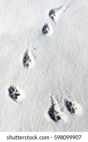 The footprints of a natural wolf. The animal tracks in the snow. Print trace of the predator in the winter.
