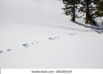 Footprints of a rabbit in the pure snow. Hare tracks in fluffy snowdrifts