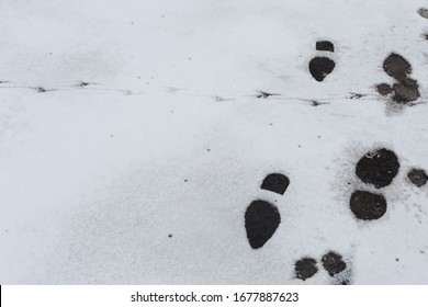 Footprints in the snow. Bird tracks and boot marks on the white snow on the road on the city street
