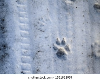 footprints in the snow. footprints of a dog. wolf tracks