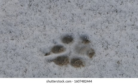 Footprints of a wolf or a large dog in the snow