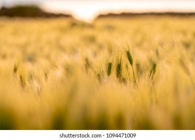 Forage barley in Jeju, South Korea