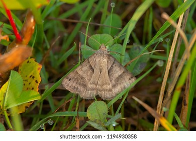 Forage Looper Moth perched on the ground in the dew covered grass. Also known as a Common Grass Moth. Ashbridges Bay Park, Toronto, Ontario, Canada.