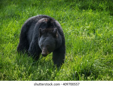 Foraging Black Bear, Great Smoky Mountains