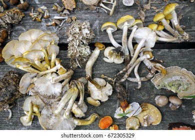 Foraging for edible wild mushrooms, collected on a picnic table, including honey mushroom (Armillaria mellea) and hen of the woods (Grifola frondosa).