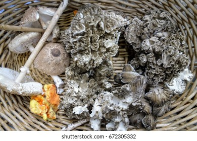 Foraging for edible wild mushrooms, collected in a basket, including hen of the woods (Grifola frondosa), chicken mushroom (Laetiporus sulphureus), and parasol mushroom (Macrolepiota procera).