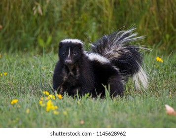 A Foraging Skunk (1)