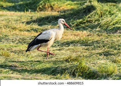 Foraging a stork on a meadow in Spreewald