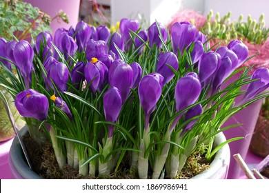 Forced dark violet Crocus vernus Flower Record flowers in a pot in March