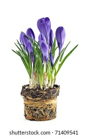 Forced purple crocus bulbs showing twining roots, isolated on white background in vertical format