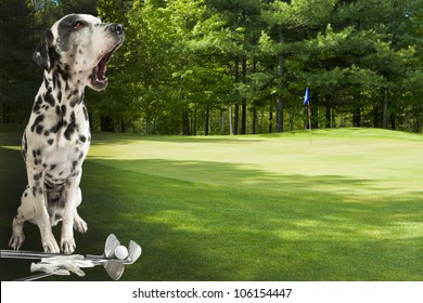 Fore! Dalmatian warning golfers on golf course.Focus on dog. Copy space on the right for additions.
