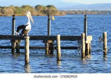 Au premier plan, un pélican solitaire perche au soleil matinal sur une vieille jetée en bois avec des cormorans se séchant sur la jetée derrière sur le lac King à Gippsland en Australie.