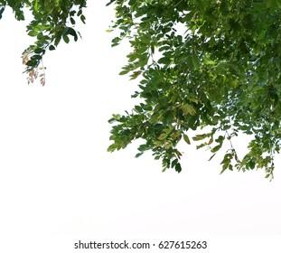 Foreground of lush tree isolated on white background