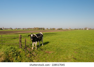 In the foreground one black and white cow and in the background of the Dutch polder landscape the edeg of a village with three historic windmiils.