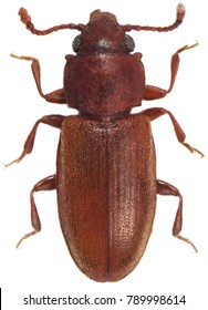foreign grain beetle Ahasverus advena Silvanidae isolated on a white background