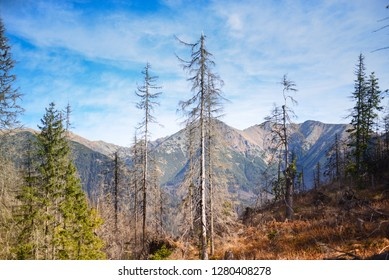 Forest after calamity on tatra mounatins with view and blue sky. West Tatras, Slovakia.