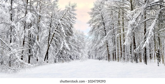 Forest after a heavy snowfall. Winter ponamramny landscape. Morning in the winter forest with freshly fallen snow