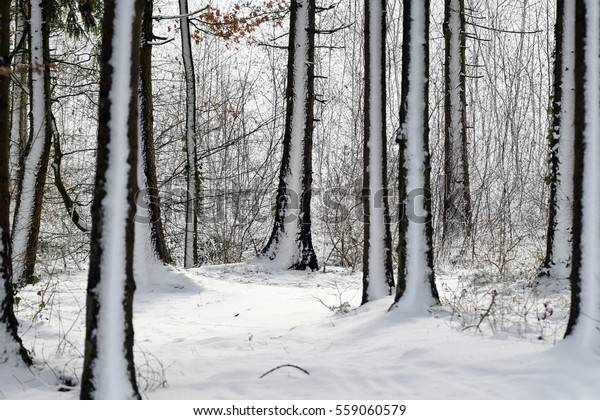 Forest after a snow storm
