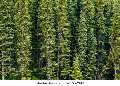 The Forest along the Alaska Highway