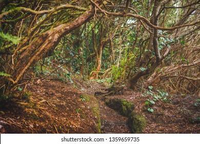 forest in Anaga rural park, Tenerife