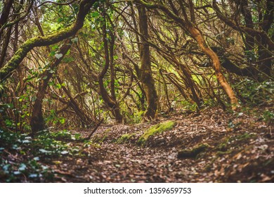 forest in Anaga rural park, Tenerife