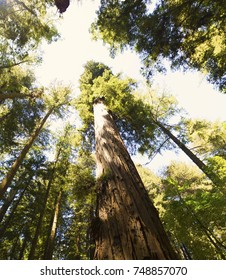 Forest of ancient redwood trees in Central California. Image shows the majesty of these ancient giants.