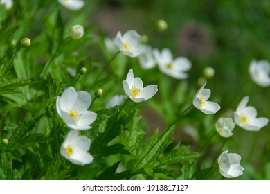 Forest anemones are spring primrose. Natural green background. Fresh spring flowers.