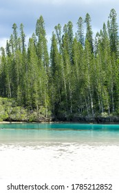 Forest of araucaria pines trees. Isle of pines in new caledonia. turquoise and translucent water along the forest