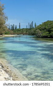 Forest of araucaria pines trees. Isle of pines in new caledonia. turquoise river with wooden bridge. blue sky
