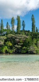 Forest of araucaria pines trees. Isle of pines in new caledonia. turquoise river along the forest. blue sky. Portrait format