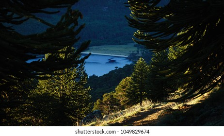 Forest of Araucarias or also called 'Pehuenes', this landscape is typical of Patagonia. In the distance you can see a lake. Sunset in Ruca Choroi, province of Neuquen, Argentina.