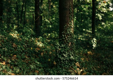 Forest area in ground floor with focus on single tree trunk that is covered with climbing plants. Frame is covered with forest leafy vegetation, in background blurred trees and forest environment.