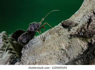 Forest assasin bug