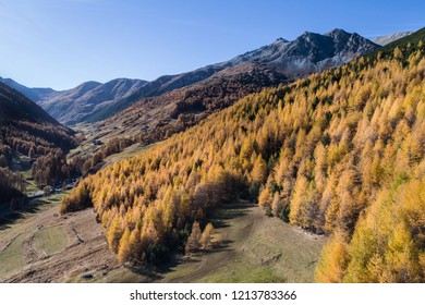 Forest in autumn, colorful trees. Val Federia, Livigno.