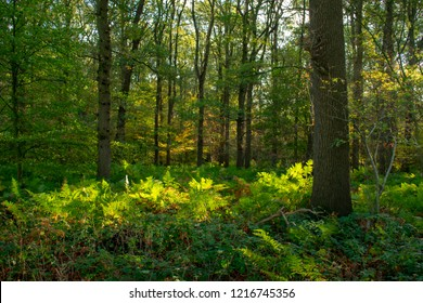 Forest in autumn with ferns covering the ground. Location: Germany, North Rhine-Westphalia, Hoxfeld.