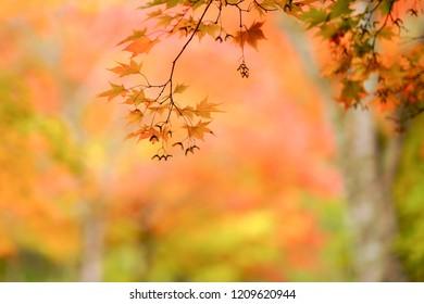 forest in autumn hokkaido