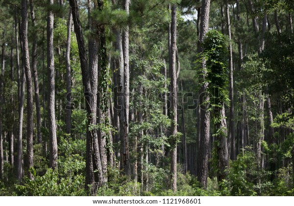 forest background pine trees in southern usa