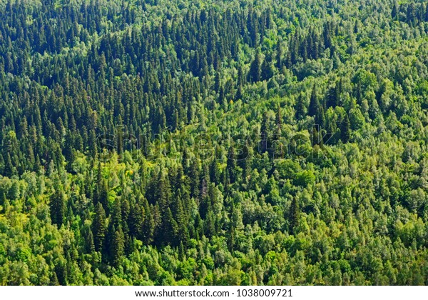Forest Background Texture Hardwood Softwood Trees Stock