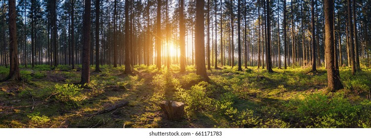 forest backlighted by golden sunlight before sunset panorama
