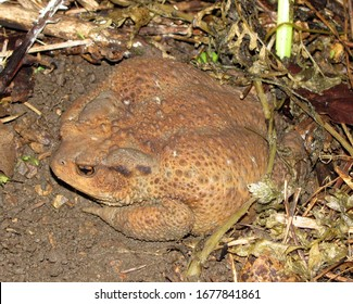 Forest beauty from real toads' families (Bufonidae) – the grey toad (Bufo bufo). The Largest land toad in Europe. Is venomous. Photographed in early summer in a beech forest at the Caucasus.