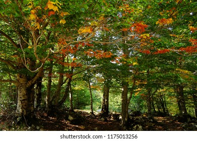 The forest and the beech trees in the fall