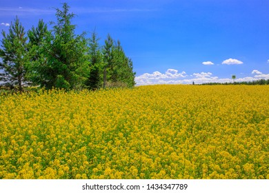 a forest belt of young pines in a field of blooming canola on a sunny day