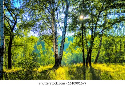 Forest birch tree sunlight backlight. Birch tree forest scene. Birch forest view. Forest scene